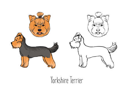 Collection of colored and monochrome contour line drawings of head and full body of Yorkshire Terrier, front and side views. Small cute toy dog or lapdog with long coat. Realistic vector illustration.