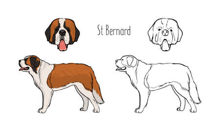 Set of colorful and monochrome contour line drawings of face and full body of St. Bernard, front and side views. Giant alpine search and rescue dog. Realistic vector illustration. Illustration