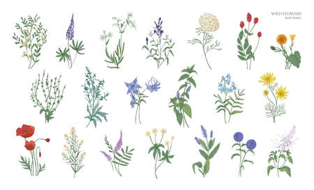 Set of realistic detailed colorful drawings of wild meadow herbs, herbaceous flowering plants, beautiful blooming flowers isolated on white background. Hand drawn botanical vector illustration. Stock Photo