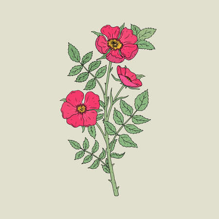 Detailed botanical drawing of gorgeous dog roses growing on stem with leaves. Pink blooming flowers hand drawn in old antique style. Beautiful wild flowering garden shrub. Vector illustration.