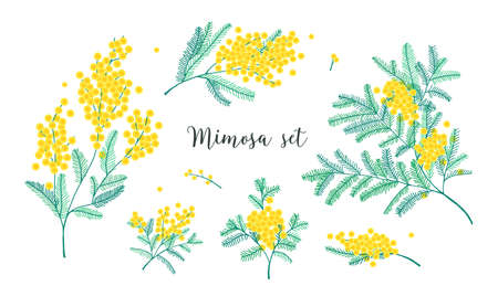 Set of beautiful yellow mimosa flowers or inflorescence and leaves isolated on white background. Bundle parts of gorgeous spring flowering plant elegant floral decorations vector illustration. Stock Illustratie
