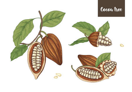 Set of detailed drawings of whole and cut ripe pods or fruits of cocoa tree with beans, branches and leaves isolated on white background. Vector illustration hand drawn in elegant vintage style.