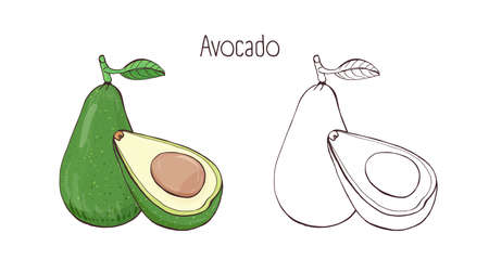 Colorful and contour monochrome botanical drawings of whole and cut avocado with leaf. Tasty ripe edible fruit of exotic cultivated plant hand drawn in elegant style. Natural vector illustration.