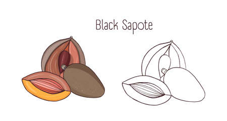 Colored and monochrome drawings of black sapote. Whole and opened ripe chocolate pudding fruits with large seeds isolated on white background. Elegant botanical hand drawn vector illustration Illustration