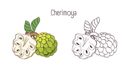 Elegant colored and monochrome contour drawings of cherimoya or custard apple. Whole and split ripe juicy delicious fruits isolated on white background. Beautiful hand drawn vector illustration.