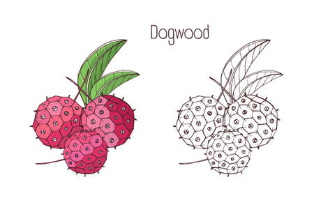 Drawings of exotic dogwood berry Illustration