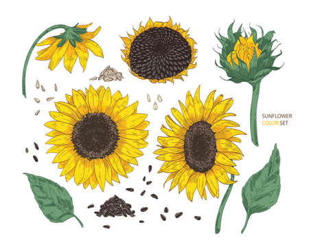 Collection of beautiful realistic drawings of sunflower parts. Bundle of flowers, buds, seeds and leaves hand drawn on white background. Colorful vector illustration in elegant vintage style. Vettoriali