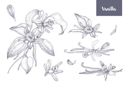 Bundle of natural drawings of vanilla plants with fruits or pods, blooming flowers and leaves isolated on white background. Monochrome vector illustration hand drawn in vintage engraving style.
