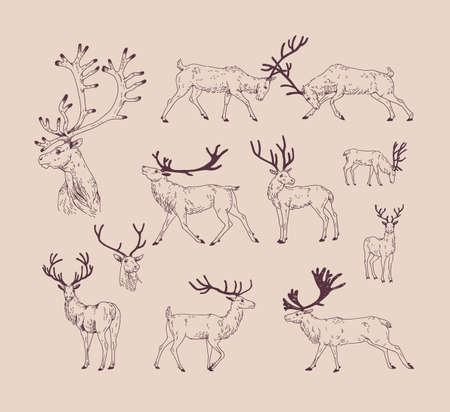 Collection of drawings of deer in various poses - grazing, fighting, standing, walking. Set of forest animal in different postures hand draw with contour lines. Monochrome vector illustration.