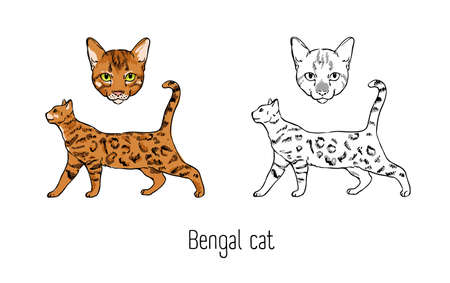 Set of colorful and monochrome outline drawings of head and full body of Bengal cat isolated on white background. Pet animal with spotted coat. Front and side views. Realistic vector illustration. Illustration