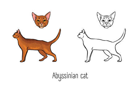 Bundle of colored and monochrome contour drawings of head and full body of Abyssinian cat. Beautiful pet animal of short-haired breed with ruddy coat. Front and side views. Vector illustration.