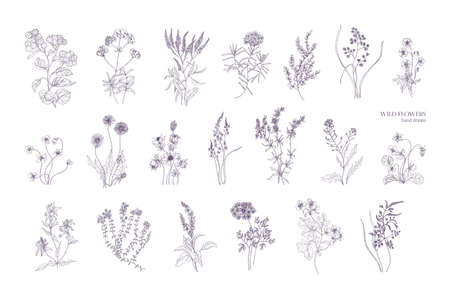 Bundle of detailed botanical drawings of blooming wild flowers. Collection of herbaceous flowering plants hand drawn with contour lines on white background. Elegant monochrome vector illustration.