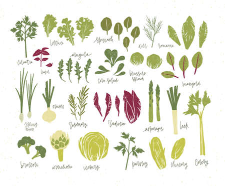 Collection of green plants. Bundle of tasty vegetables and salad leaves isolated on white background. Delicious healthy vegan or vegetarian food. Colorful vector illustration in flat cartoon style