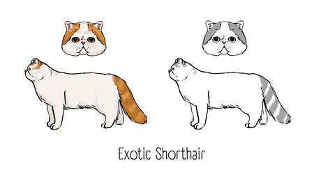 Collection of colored and monochrome line drawings of head and body of Exotic Shorthair cat isolated on white background. Breed standards of purebred domestic animal or pet. Vector illustration