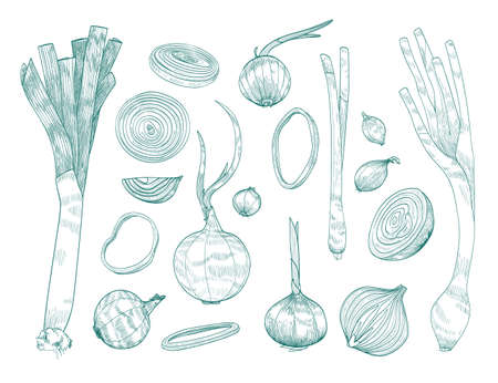 Collection of various whole and cut onions hand drawn with contour lines on white background. Bundle of raw vegetables of different types. Monochrome realistic vector illustration in engraving style