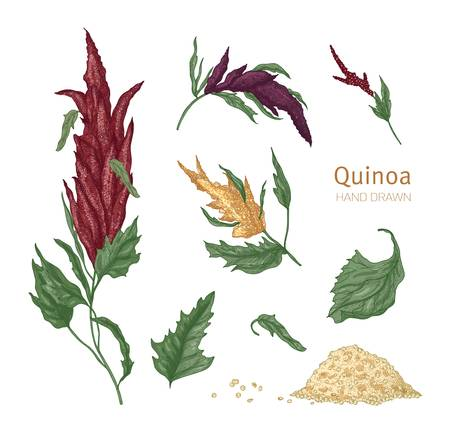 Bundle of various quinoa flowering plants and seeds hand drawn on white background. Collection of gorgeous cultivated grain crops for healthy nutrition. Realistic vector illustration in vintage style.