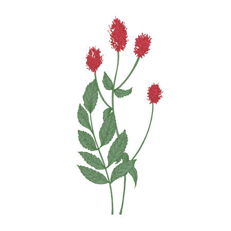 Gorgeous flowers and leaves of Sanguisorba officinalis or great burnet plant isolated on white background. Hand drawn flowering plant or wildflower used in phytotherapy. Elegant vector illustration