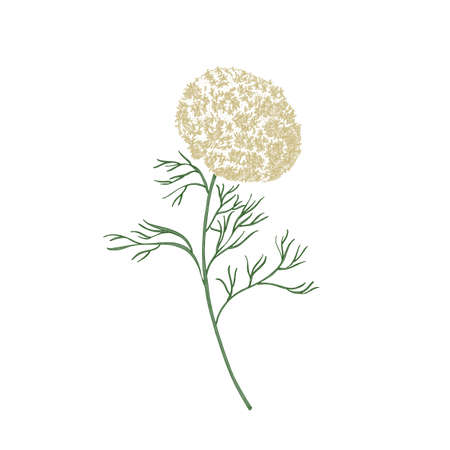 Elegant flowers and leaves of Ammi visnaga or toothpick-plant hand drawn on white background. Beautiful flowering plant or wildflower. Natural botanical vector illustration in antique style Vettoriali