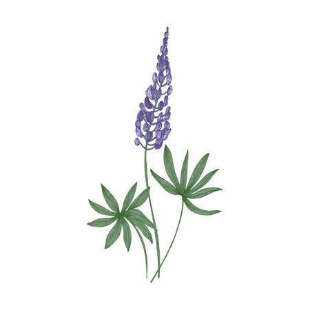 Elegant botanical drawing of Lupine purple flowers and green leaves isolated on white background. Beautiful wild meadow flowering herbaceous plant. Floral vector illustration in vintage style Vettoriali