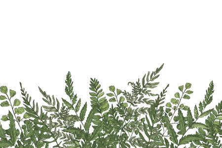Horizontal background with beautiful ferns, wild herbs or green herbaceous plants growing at bottom edge on white background. Herbal backdrop or border beautiful realistic vector illustration.