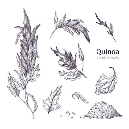Collection of quinoa flowering plants, leaves and seeds hand drawn with black contour lines on white background. Set of drawings of cultivated grain crops for healthy nutrition.