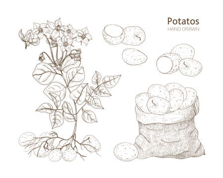 Elegant monochrome botanical drawings of potato plant with flowers, tubers and vegetables in bag. Edible crop hand drawn with contour lines on white background. Vector illustration in engraving style.