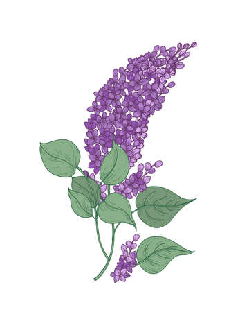 Lilac branch with gorgeous purple flowers and green leaves hand drawn on white background. Beautiful flowering woody fragrant plant used in aromatherapy. Vector illustration in elegant vintage style. Stock Photo