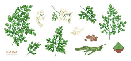 Collection of elegant detailed botanical drawings of Moringa oleifera leaves, flowers, seeds, fruits. Bundle of parts of tropical cultivated plant isolated on white background. Vector illustration.