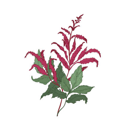 Gorgeous Astilbe or False Goat s Beard blooming flowers and leaves hand drawn on white background. Elegant natural drawing of herbaceous plant, flowering herb or wildflower. Vector illustration