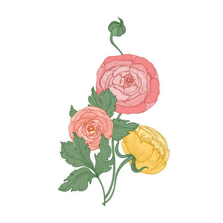 Ranunculus and buttercup flowers and buds isolated on white background. Elegant botanical drawing of bunch of cultivated garden flowering plants. Natural floral vector illustration in vintage style.