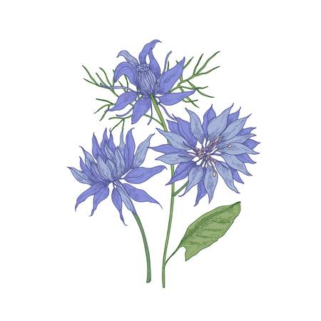 Gorgeous blooming blue Nigella flowers Illustration