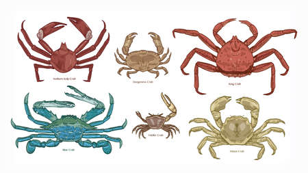 Bundle of colorful drawings of different types of crabs. Collection of beautiful marine animals or ocean crustaceans hand drawn on white background. Elegant vector illustration in vintage style. Illustration