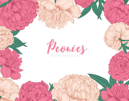 Horizontal backdrop decorated with frame or border made of tender blooming peony flowers hand drawn on white background. Romantic flowering garden plants. Floral vector Imagens