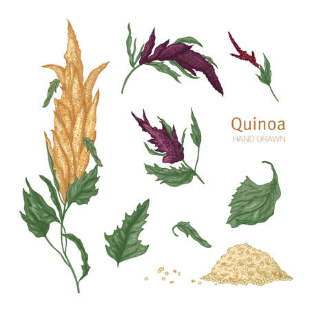 Collection of quinoa flowering plants or inflorescences, leaves and seeds hand drawn on white background. Collection of cultivated grain crops, wholesome food product. Realistic vector illustration. Vettoriali