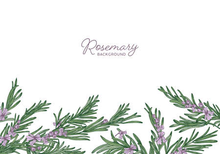Horizontal herbal backdrop decorated with rosemary sprigs at bottom edge. Beautiful background with border made of aromatic wild blooming herb and place for text. Botanical vector illustration