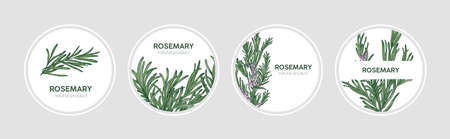 Collection of round labels decorated with rosemary sprigs. Set of beautiful circular tags with fragrant spicy culinary herb and place for text. Natural vector illustration in elegant antique style
