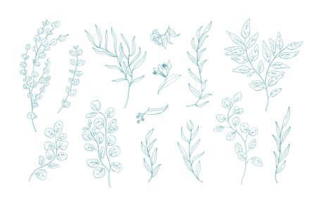 Collection of various eucalyptus branches with leaves hand drawn with green contour lines on white background. Bundle of botanical design elements. Monochrome realistic floral vector illustration