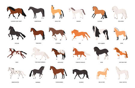 Collection of horses of various breeds isolated on white background. Bundle of gorgeous domestic equine animals of different types and colors. Colorful vector illustration in flat cartoon style.