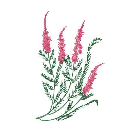 Heide oder Ling zarte Blumenhand gezeichnet auf weißem Hintergrund. Detaillierte Zeichnung einer blühenden krautigen Pflanze oder eines schönen dekorativen Krauts. Elegante bunte Vektorillustration im antiken Stil