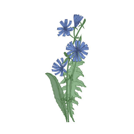 Common chicory flowers and leaves isolated on white background. Beautiful drawing of flowering perennial herbaceous plant or meadow herb. Elegant colorful vector illustration in vintage style Illustration