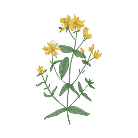 Gorgeous blooming Saint John's wort flowers, stems and leaves isolated on white background. Wild flowering herb or herbaceous plant used in herbal medicine. Elegant hand drawn vector illustration 矢量图像
