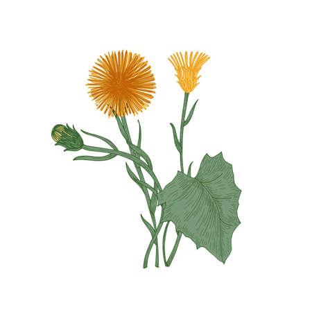 Huflattich Blumen, Knospen und Blätter auf weißem Hintergrund. Elegante Zeichnung von mehrjährigen Pflanzen oder Wildkräutern, die in der Kräutermedizin oder Phytotherapie verwendet werden. Natürliche Vektorillustration im Vintage-Stil