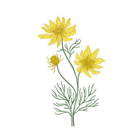 Pheasant's eye flowers hand drawn on white background. Natural drawing of perennial plant or meadow flowering herb used in phytotherapy or herbal medicine. Vector illustration in antique style