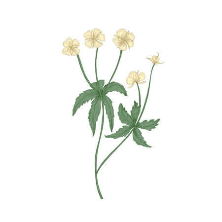Tender tormentil or septfoil flowers isolated on white background. Elegant drawing of flowering herb or wildflower. Floral decorative design element. Realistic hand drawn vector illustration Ilustração
