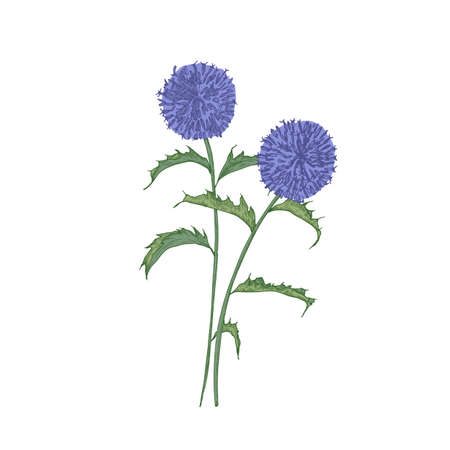 Southern globethistle flowers or inflorescences, stems and leaves isolated on white background. Detailed drawing of wild flowering herb used in phytotherapy. Botanical hand drawn vector illustration.