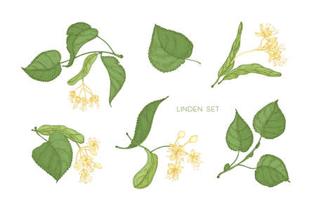 Bundle of elegant detailed botanical drawings of linden green leaves and blooming yellow flowers. Hand drawn parts of flowering tree, medicinal plant. Floral realistic illustration in vintage style.