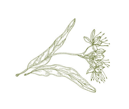 Splendido disegno di contorno di foglie e fiori o infiorescenze di tiglio. Bella parte dell'albero utilizzata in fitoterapia disegnata con linee di contorno su sfondo bianco. Elegante illustrazione vettoriale naturale