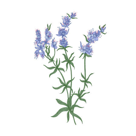 Hyssop flowers or inflorescences isolated on white background. Detailed drawing of wild aromatic perennial herbaceous plant used in culinary as spice. Colorful realistic natural vector illustration