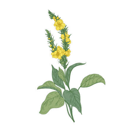 Tender verbascum or mullein flowers isolated on white background. Detailed drawing of wild perennial herbaceous plant used in herbalism or herbal medicine. Hand drawn botanical vector illustration