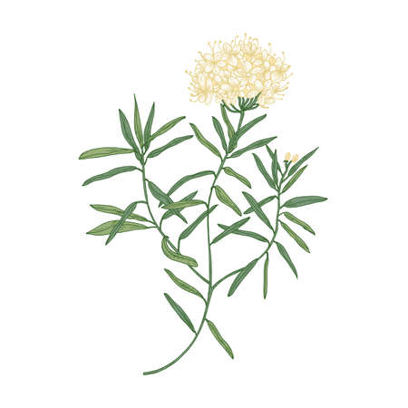 Labrador tea or wild rosemary flowers isolated on white background. Elegant drawing of fragrant wild plant or shrub used in herbal medicine or phytotherapy. Realistic botanical vector illustration